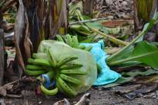 STANDPOINT | An Open Letter to Pilipino Banana Growers and Exporters Association