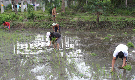 PLANTING RICE IN NANAY SILAY'S REMAINING PADDY