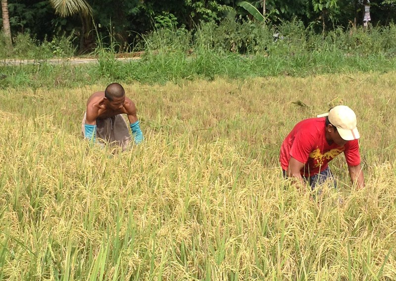 PH rice importation policy in shambles